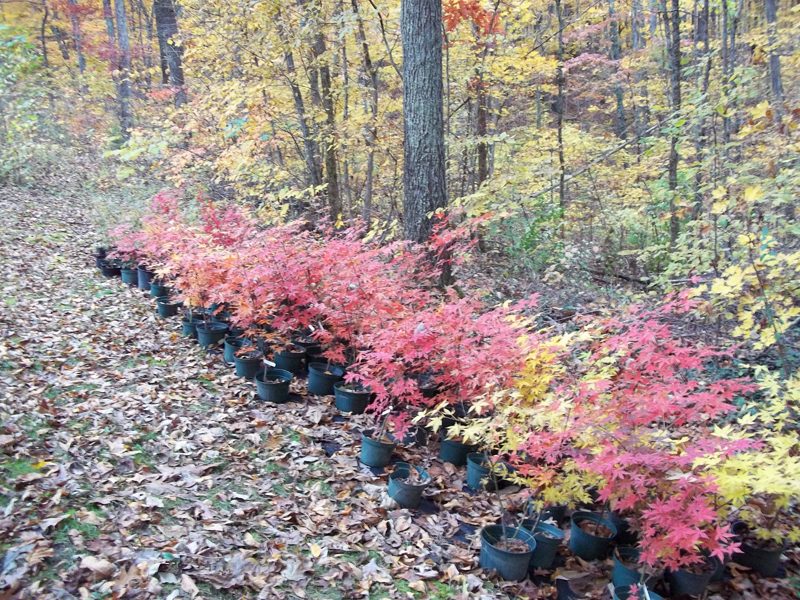 Japanese maples-Fall Colors