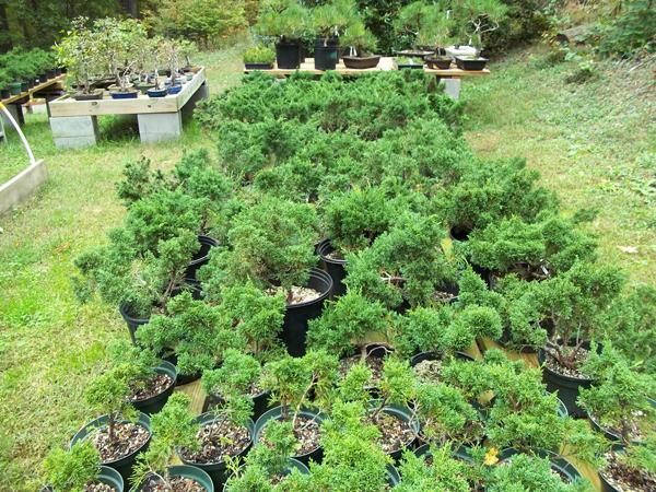 Shimpaku stock trees