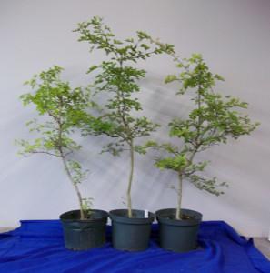 pre-bonsai-parsleyhaw