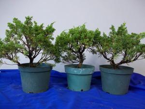 pre-bonsai-shimpaku